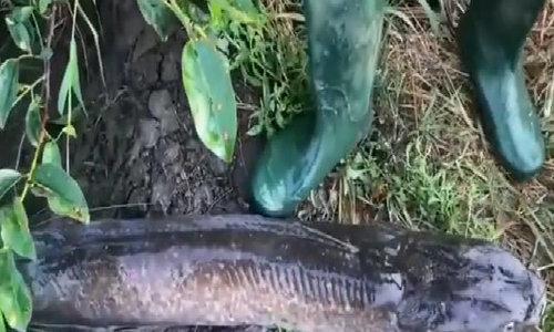 Câu được cá trê gần 8kg bằng ốc ma