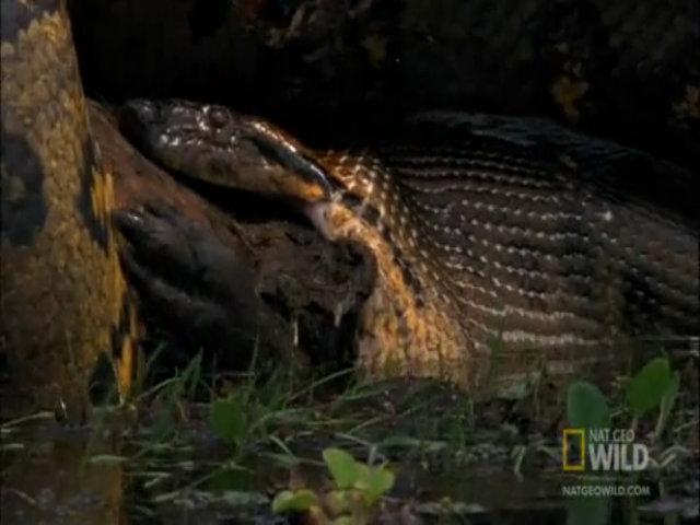 Trăn anaconda cái giết chết con đực sau khi giao phối
