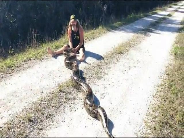Thợ săn tay không bắt trăn dài 5 mét, chửa 78 quả trứng