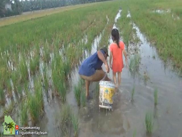'Nhặt' trăm con cua trên ruộng nước cạn