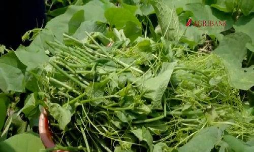 50ha su su VietGap cho thu hoạch quanh năm tại Hòa Bình