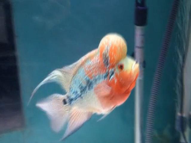 Cá La Hán có đầu gù như một ông tiên