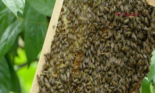 Mật ong Quảng Bình thơm mùi đặc trưng của từng mùa hoa