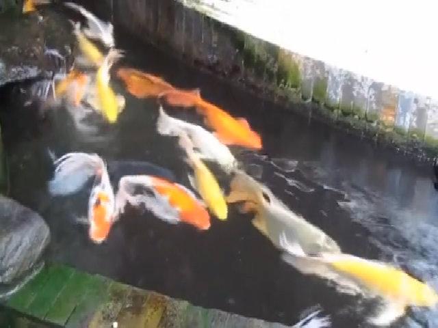 Cá chép Koi Nhật Bản