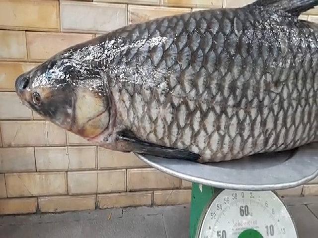 Câu được cá trắm đen nặng 41 kg ở sông Đà