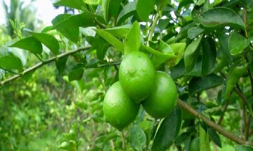 800 ha chanh không hạt sạch xuất khẩu tại Hậu Giang