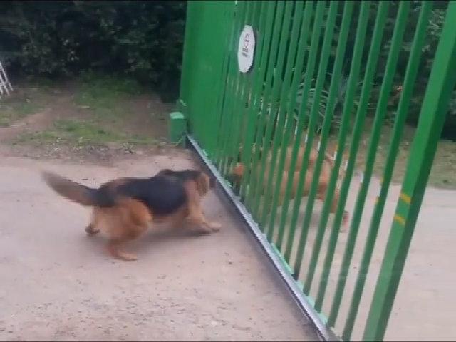 Khi những chú chó nhát gan thách đấu nhau