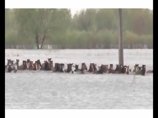 Giải cứu đàn ngựa sắp chết đuối trong lũ ngập tới tận cổ