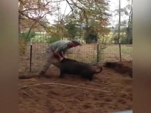 Người đàn ông vất vả đưa lợn vào chuồng