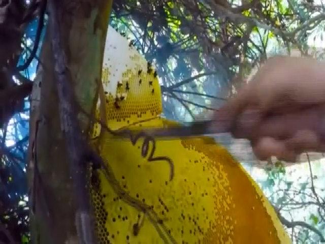 Chàng trai leo cây gỡ tảng mật ong rừng nặng 5 kg