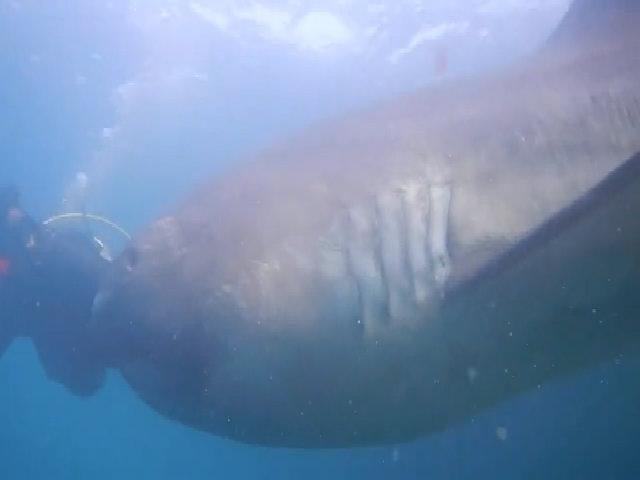 Cá mập miệng rộng siêu hiếm mắc lưới tàu cá Nhật Bản
