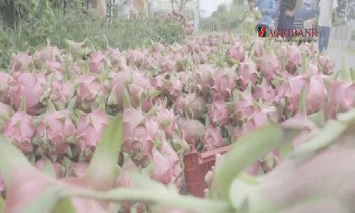 Vựa thanh long 5.000 ha xuất khẩu châu Âu tại Tiền Giang