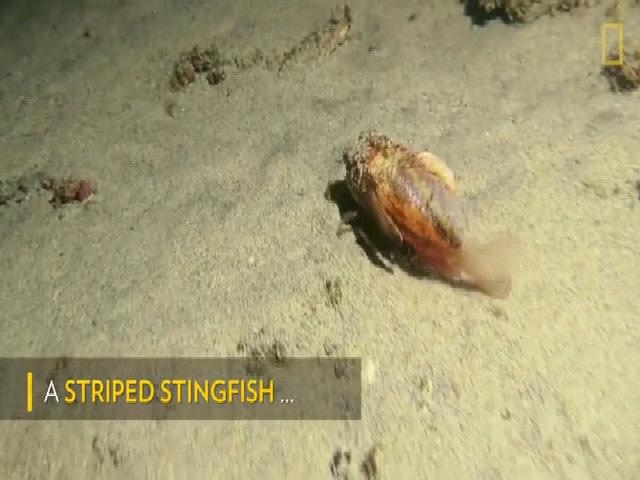 Cá đi bộ dưới đáy đại dương