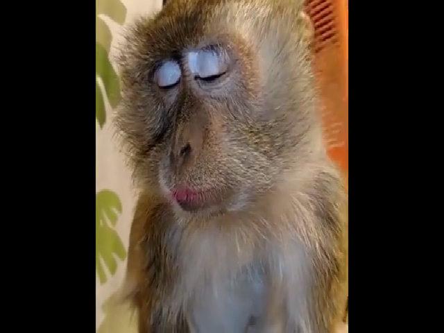Chú khỉ say mê khi được chủ chải lông