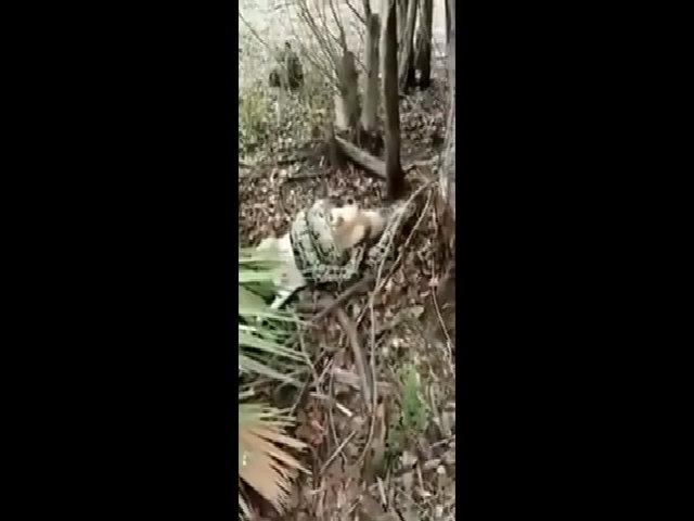 Nông dân Mỹ bắn chết trăn dài 4 mét siết cổ dê nhà