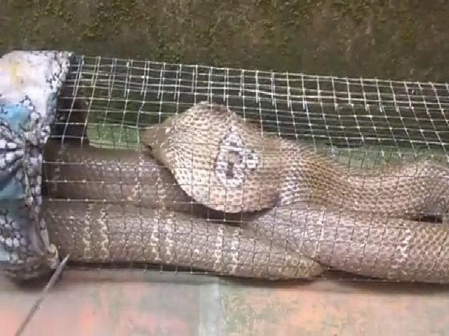Bẫy rắn hổ mang gần 2 mét ở ao hoang sau nhà