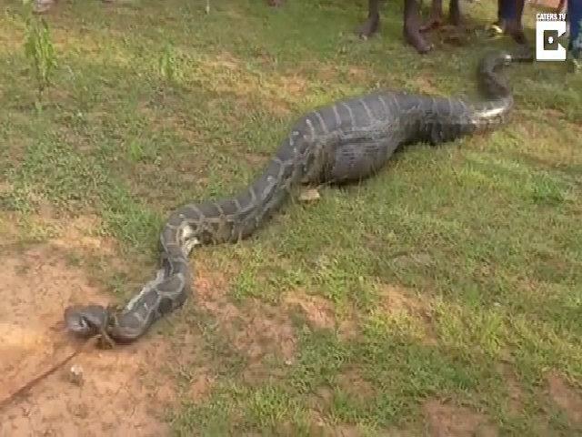 Trăn dài 5 m nuốt chửng dê bị dân làng Ấn Độ trói gô