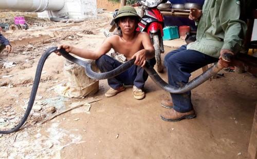 Bắt rắn hổ mang chúa hơn 5kg trườn từ trên núi xuống