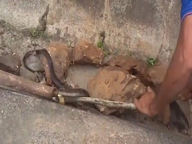 Bắt rắn hổ mang dài hơn 2 mét đang lột da bên đường