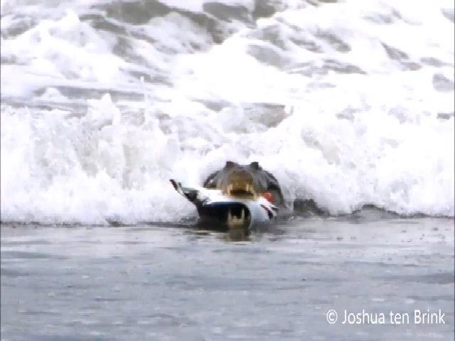 Cá sấu nhai ngấu nghiến cá đuối mặc sóng xô