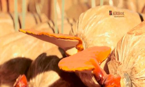 Nấm linh chi sạch - dược liệu quý chất lượng từ cao nguyên Đăk Lăk