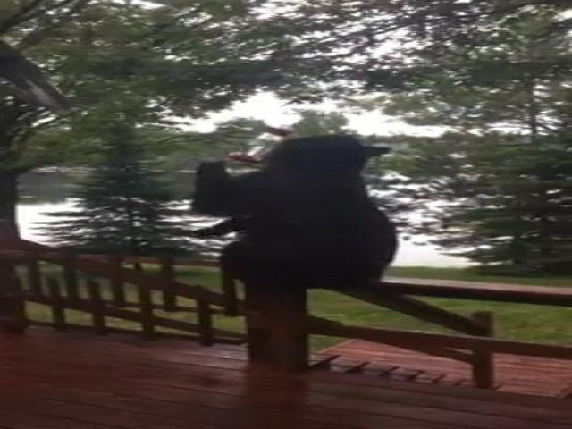 Gấu đen Bắc Mỹ ngồi vắt vẻo uống nước trước hiên nhà