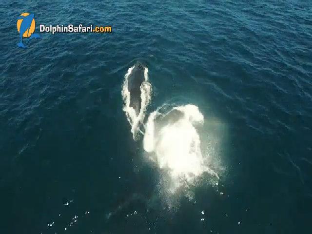 Cá voi lưng gù con nổi giận khi mẹ không cho bú sữa