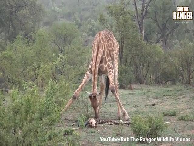 Hươu cao cổ gặm xương trâu rừng trong công viên Nam Phi