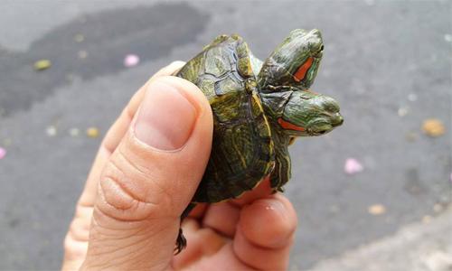 Người Sài Gòn bán rùa hai đầu giá gần 50 triệu đồng