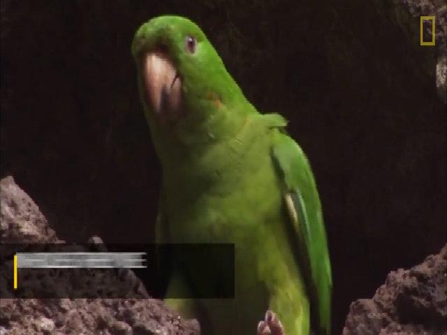 Vẹt đuôi dài học bay trên miệng núi lửa còn hoạt động