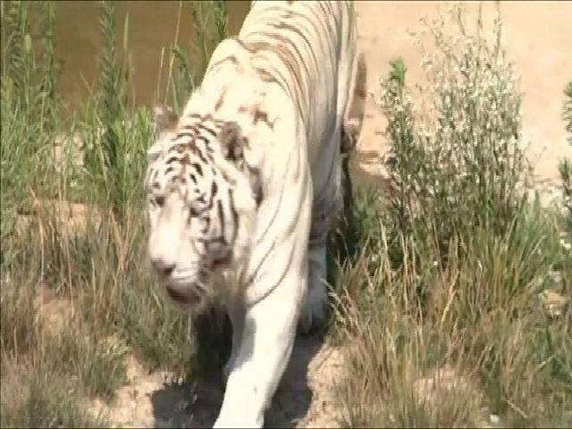 4 con non của hổ trắng có nguy cơ tuyệt chủng chào đời