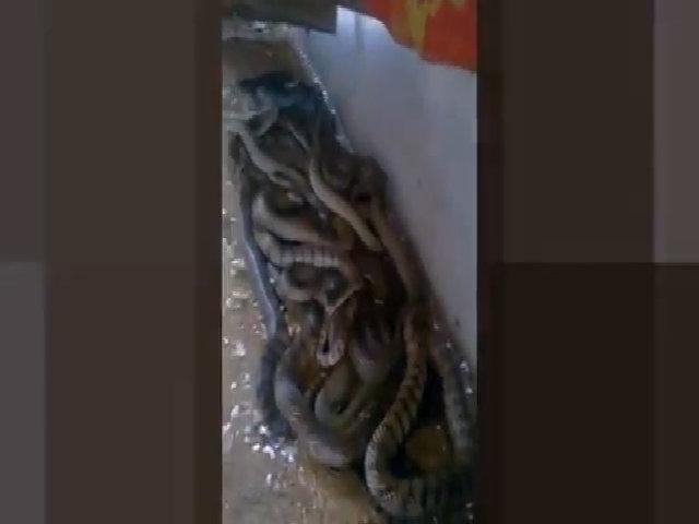Hàng chục con rắn hổ vện cuộn tròn dưới mái tôn