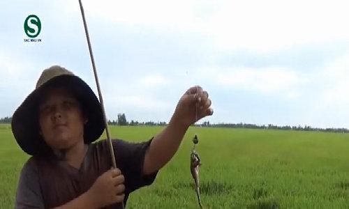 Tuyệt chiêu câu ếch trên ruộng lúa ở miền Tây