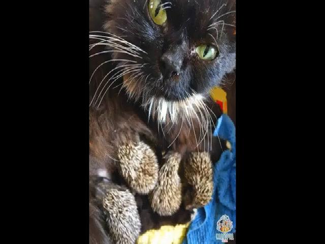 Mẹ mèo nuôi 8 chú nhím mồ côi bất chấp gai nhọn
