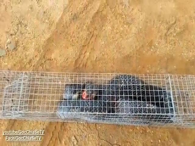 Bẫy rắn hổ mang nặng 3 kg ở Sài Gòn