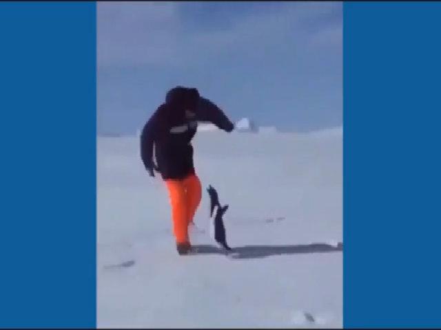 Người đàn ông ngã lăn vì bị chim cánh cụt tấn công