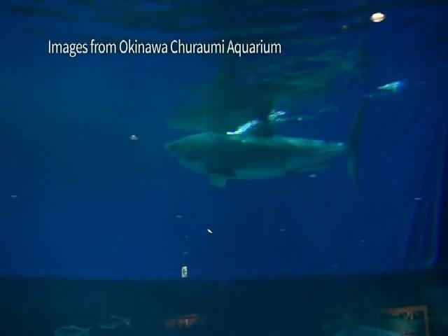Lý do không thủy cung nào dám nuôi 'sát thủ đại dương'