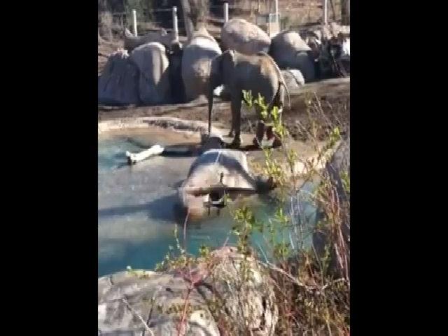 Cuộc chiến bất phân thắng bại giữa ngỗng và voi