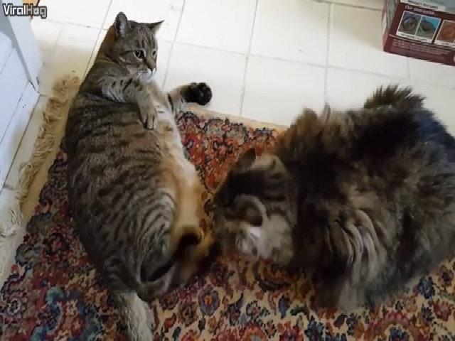 Khi hai chú mèo béo phì đánh nhau
