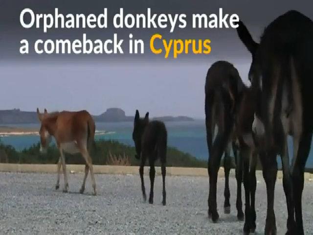 Lừa mắn đẻ gây khủng hoảng thừa ở Cyprus