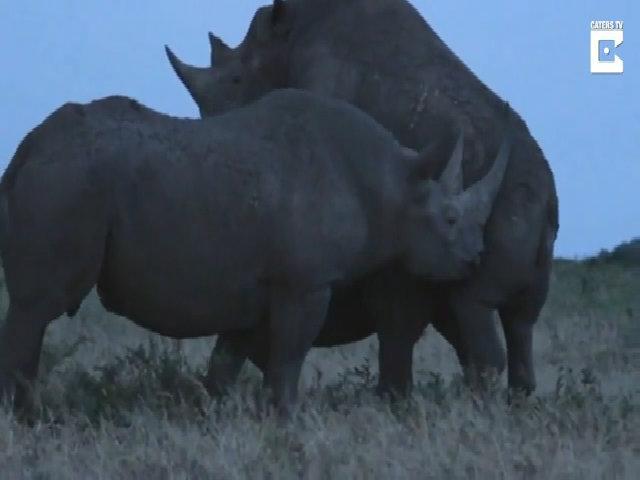 Tê giác hất đối thủ khỏi cuộc giao phối để thế chỗ