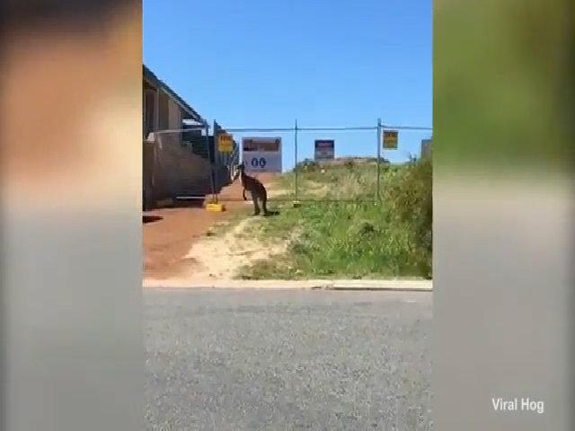 Kangaroo loay hoay tìm đường về nhà giữa bốn bề rào chắn