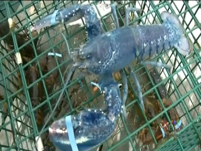 Tôm hùm thoát chết vì trông như ngọc đại dương