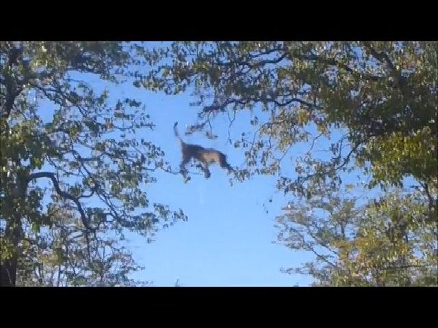 Vồ hụt sóc, báo đốm 'bay' thẳng từ ngọn cây xuống đất