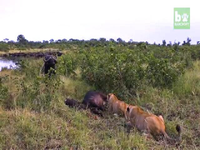 Đàn trâu đánh đuổi sư tử, cố đánh thức đồng loại bị giết