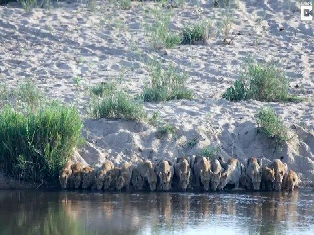 Khoảnh khắc 20 con sư tử đồng loạt cúi đầu uống nước