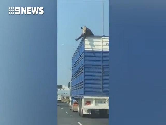 Bò suýt vỡ đầu khi định bỏ trốn khỏi xe tải