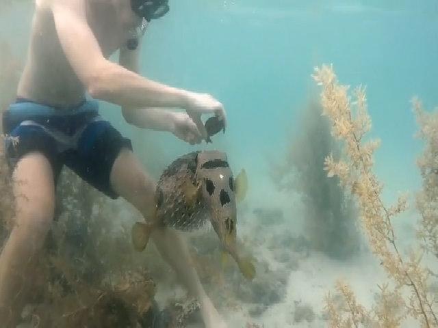 Cá nóc kiên nhẫn chờ thợ lặn giải cứu bạn mắc kẹt
