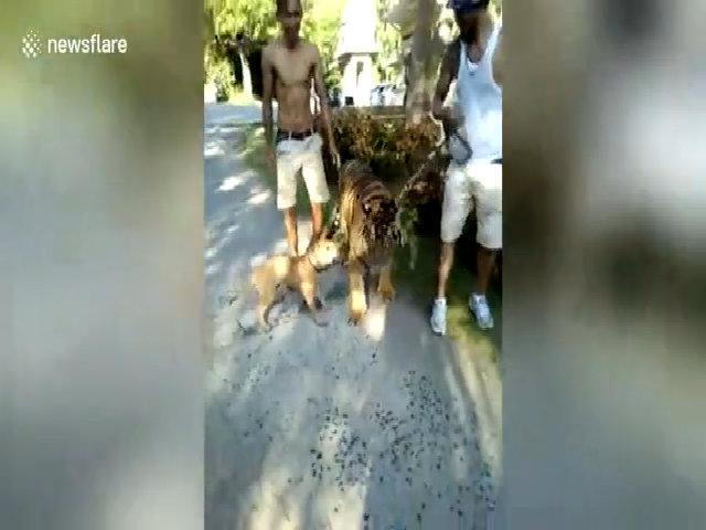 Chó bạo gan sủa vang dọa hổ sợ bỏ chạy