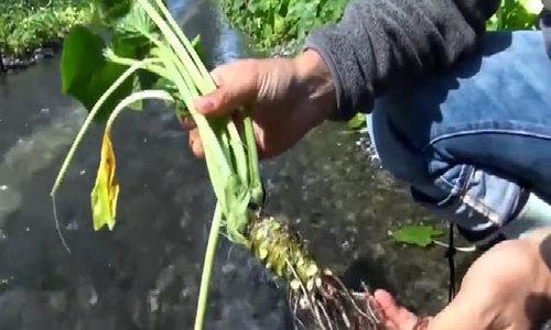 Nông trại trồng gia vị wasabi lớn nhất Nhật Bản